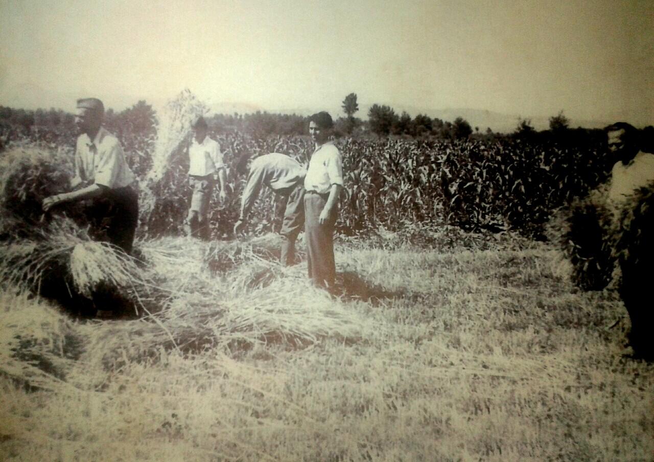 Sejanje žitarica, žetva i vršidba
